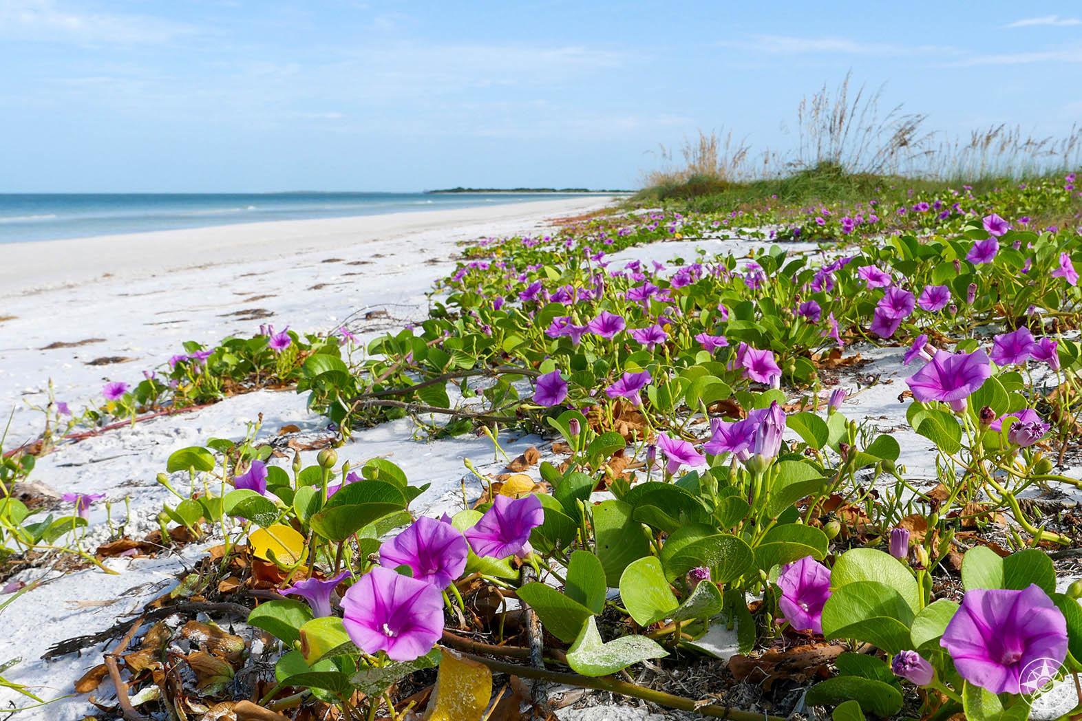 Natural Beach Paradise: beach morning glory, sea oats, birds, and wide white beach, Honeymoon Island State Park, Florida
