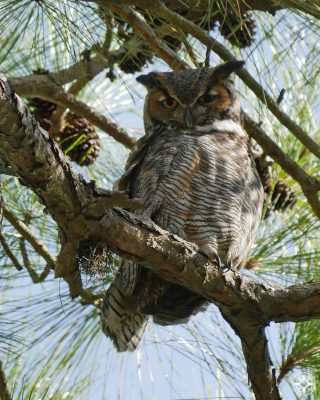 Great Horned Owl, big ears, in tree Osprey Trail, State Park, Florida