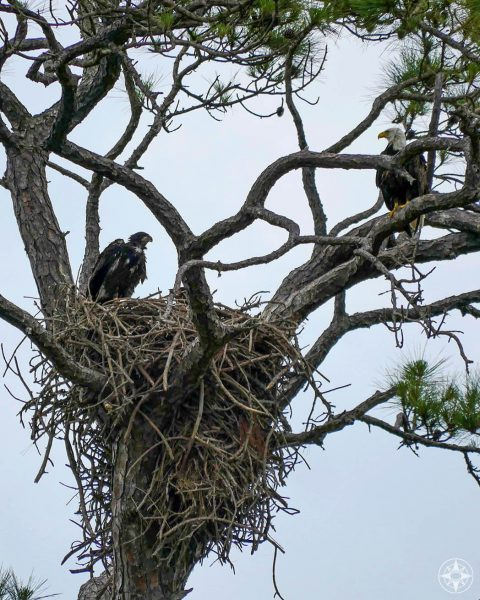 Adult and juvenile bald eagles at their nest - seen from Osprey Trail on Honeymoon Island., State Park, Florida