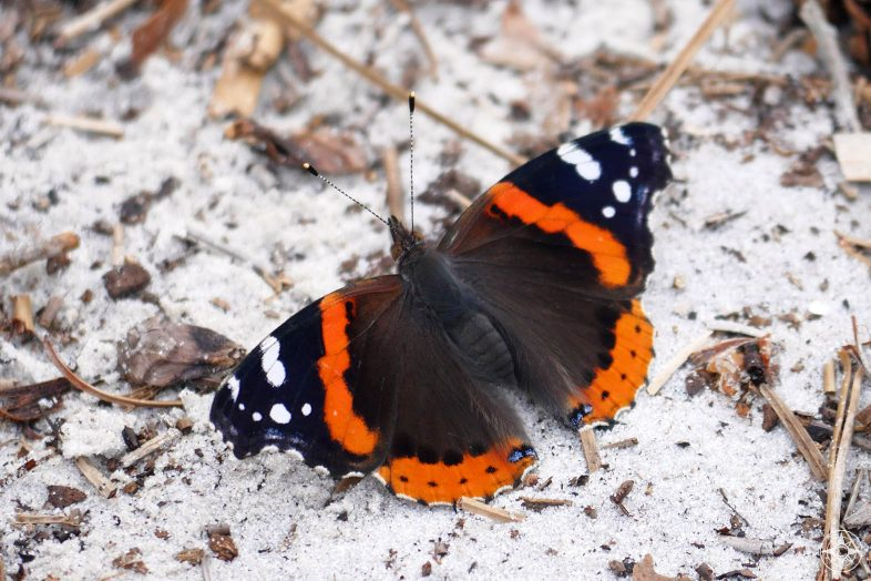 Red Admiral black and orange butterfly with white dots, on the sand