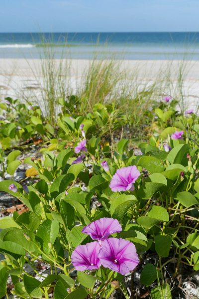 Pink purple beach morning glory vine along the Honeymoon Island north beach, Dunedin, Florida