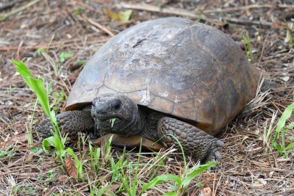 gopher tortoise eating grass on Honeymoon Island