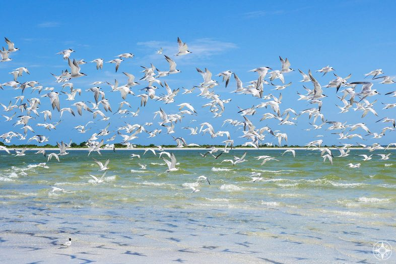 flock of least terns in flight with shadows over shallow clear water and beach