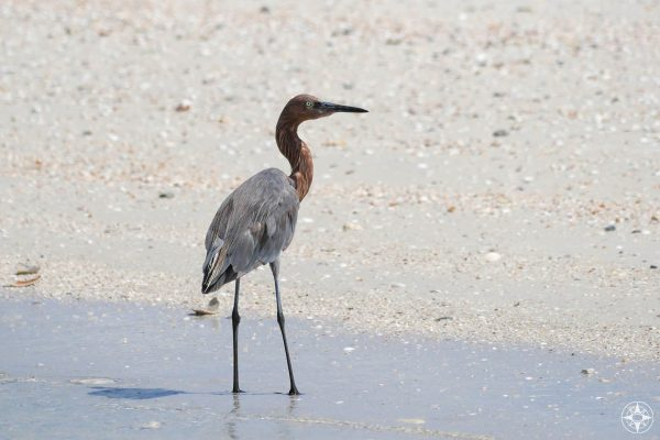 Reddish Egret on the beach, rusty red neck and head, grey body, grey legs, dark grey, Gulf of Mexico