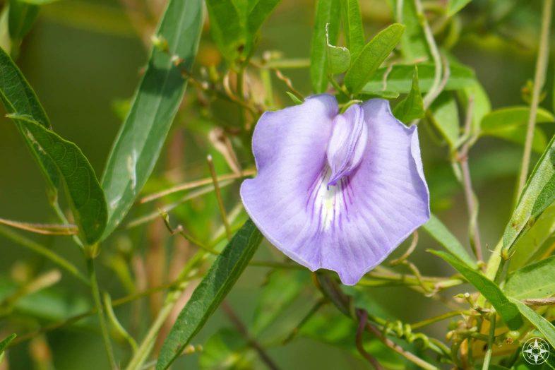 light purple bloom, vine, Butterfly Peas, Pigeonwings, Florida wildflower