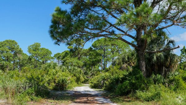 Osprey Trail, tree covered, sand trail, rare virgin slash pine, old trees, Honeymoon Island, State Park, Florida