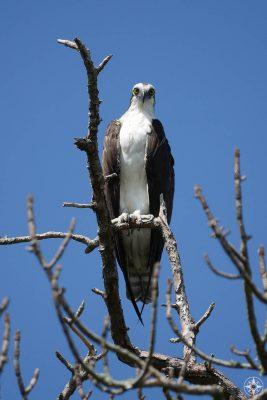 Osprey, big eyes, white chest, fish eagle, seahawk, dead tree, blue sky