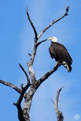 Bald Eagle, dead tree, blue sky