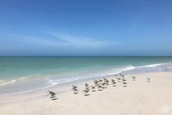 Sandpipers on the Caladesi Beach just north of Clearwater Beach