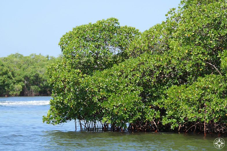 Mangrove trees growing out of the water along kayaking trail around Caladesi Island State Park, Florida
