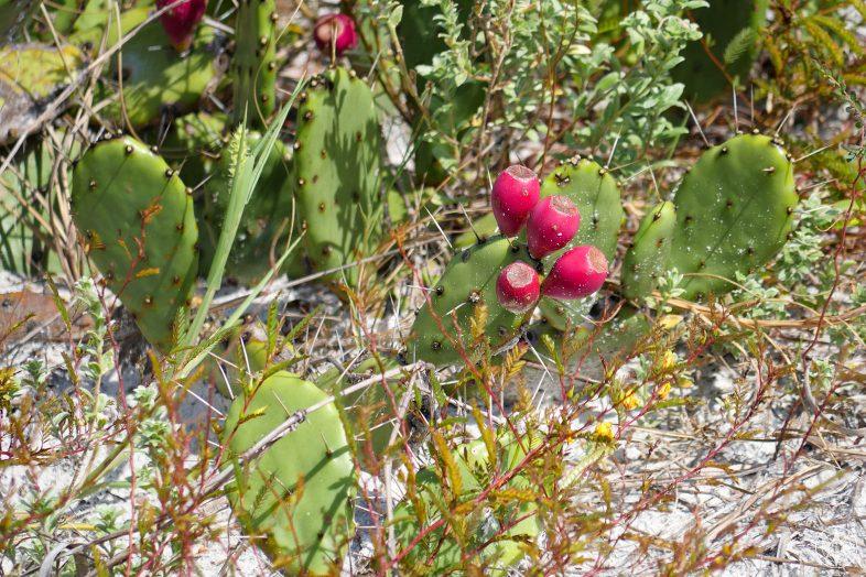 Cactus with red fruits on Caladesi Island, Florida