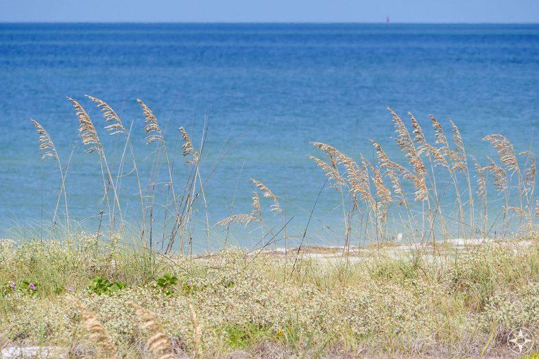 Protected sea oats grow along the dunes on Caladesi Island