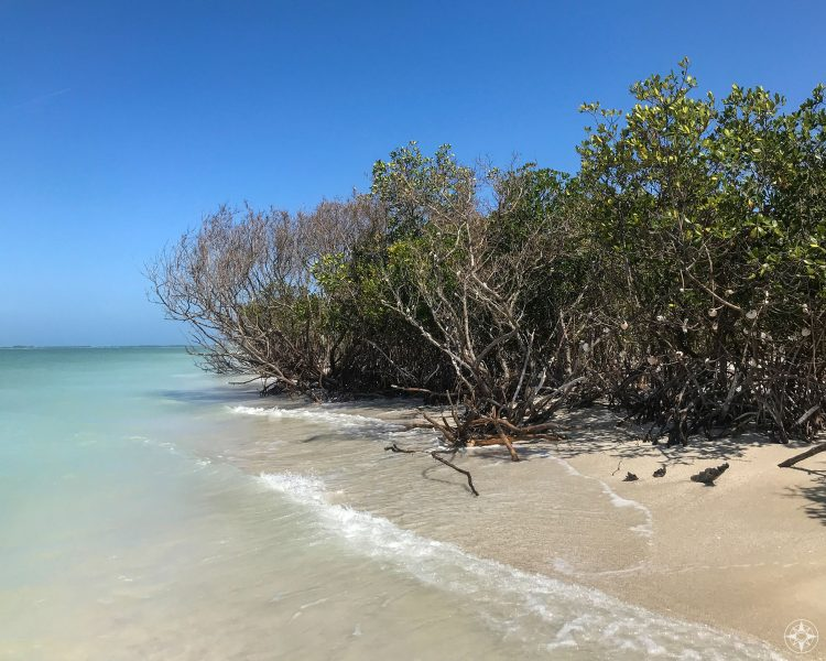 trees growing on the beach and into the saltwater, Caladesi Island State Park