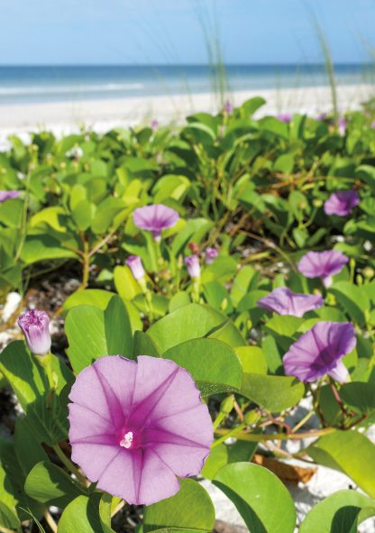 pink and purple beach morning glory at the beach on Honeymoon Island, Florida Gulf Coast, folded greeting card, Happier Place