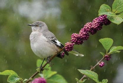 Puffed up grey, black and white Mocking Bird on Beauty Bush in the rain, St. Pete, Florida. pic190, postcard
