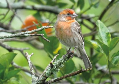 Orange House Finch in Tangerine Tree, Florida (pic191: House Finch), folded greeting card and envelope