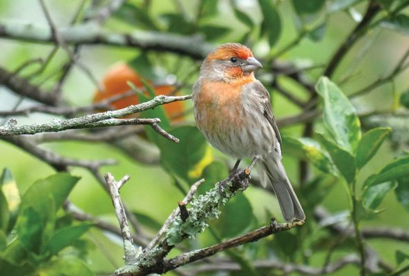 Orange House Finch in Tangerine Tree, Florida (pic191: House Finch)