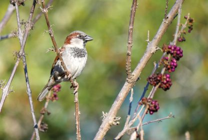 male house sparrow with black chest, pic192: sparrow, postcard