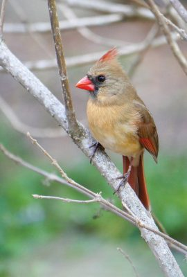 Female Red Cardinal, tan body, reddish brown wings, red beak, black face, red tuft