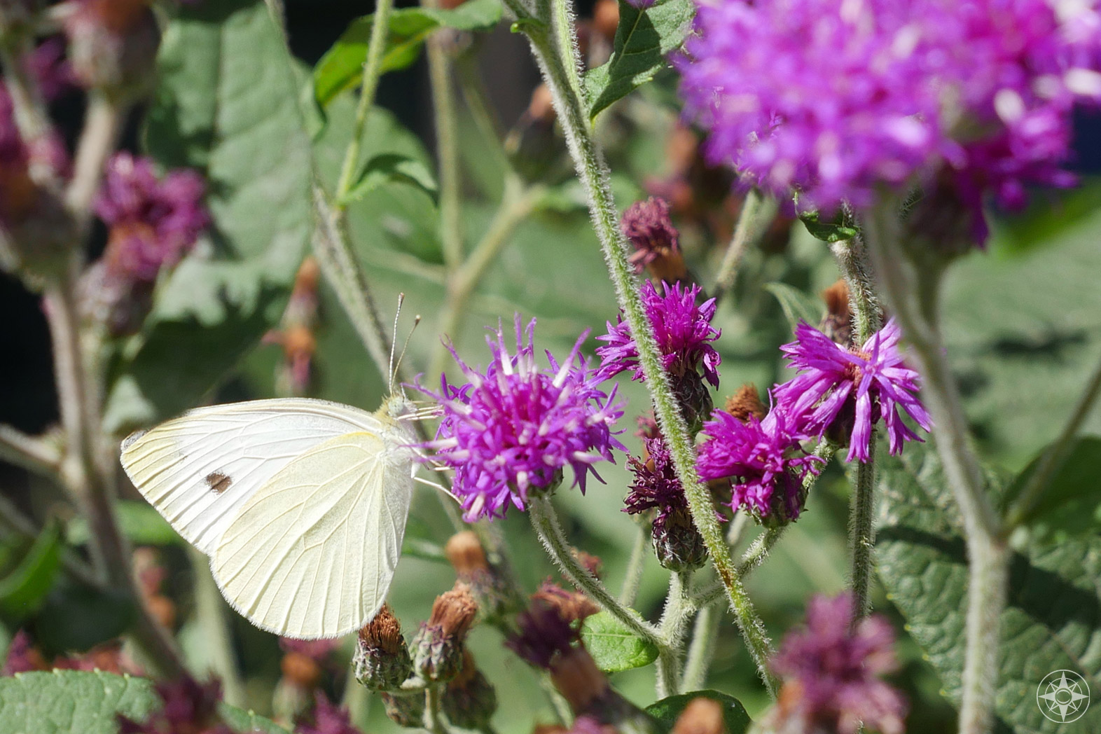 white butterfly on purple wildflower, thistle in Manhattan, to celebrate Earth Day