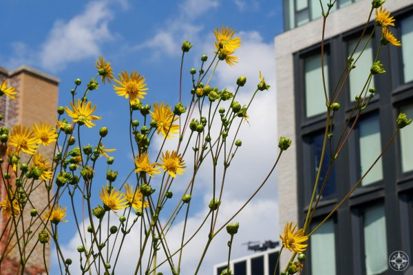 yellow wildflowers, tall buildings against sky, Manhattan High Line, good place to celebrate Earth Day