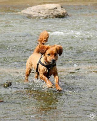 dog splashing in the St. Vrain River in Colorado