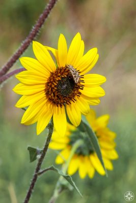 wild sunflower with skipper or moth in Colorado