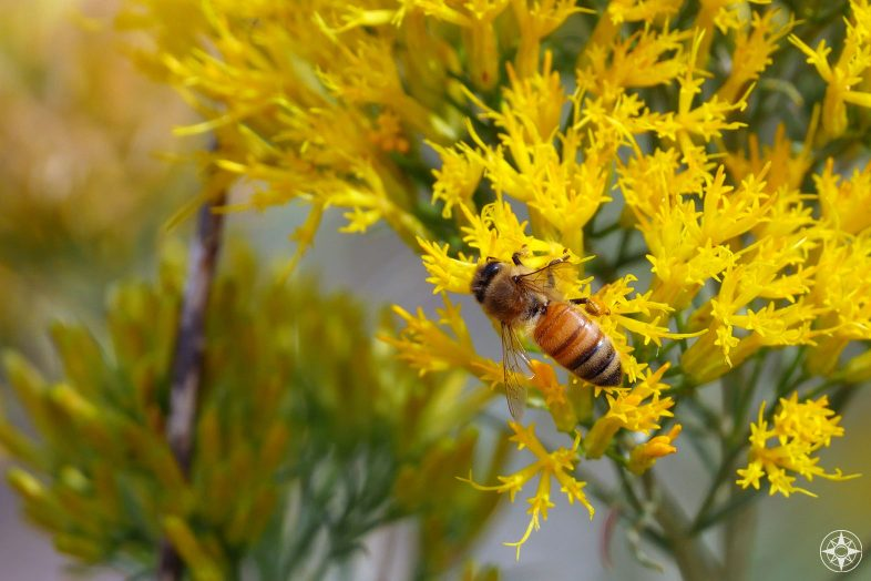 Bee on yellow wildflower shrub in Colorado foothills