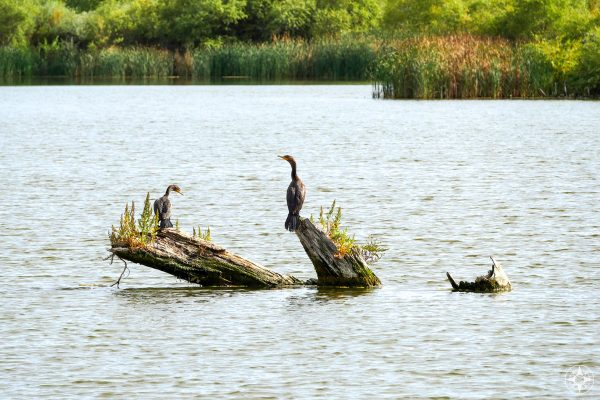 Two cormorants on old logs in pond, Colorado