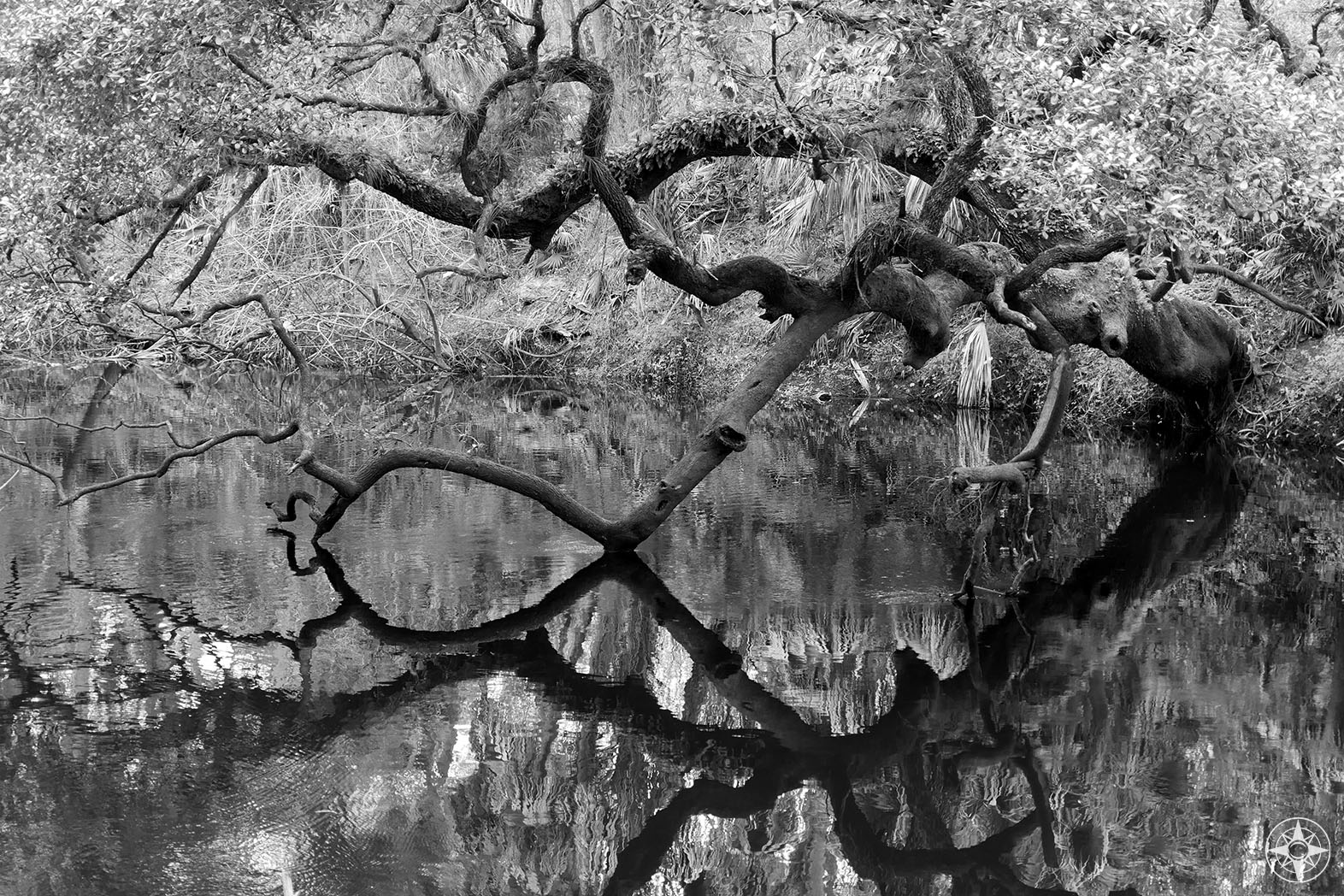 Tree branch reflection, black and white, Hillsborough River