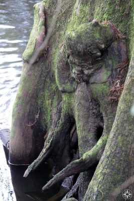 Alien in the tree, natural formation, Florida